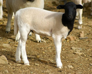 Genuine Certified Karoo Lamb